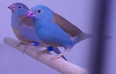 photograph of a blue-capped waxbill