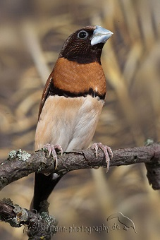 photograph of a chestnut-breasted finch