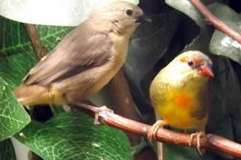 photograph of a cock gold-breasted waxbill and chick
