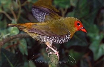 photograph of a Green Twinspot, latin name Mandingoa nitidula chubbi (cock bird)