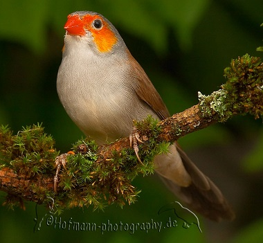 photograph of a Orange-cheeked Waxbill