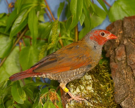 photograph of a Orange-winged Pytilia