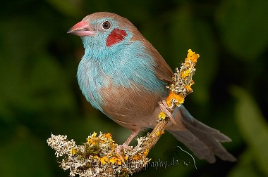 photograph of a red-cheeked cordon bleu