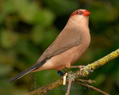 photograph of a Red-eared Waxbill