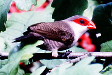 photograph of a St Helena waxbill